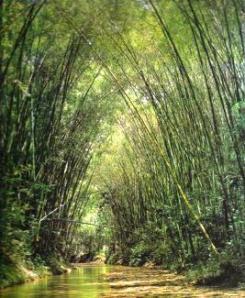 6 bambusa guadua