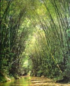 10 Bambusa Guadua