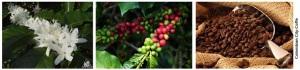 cafe de colombia - godues