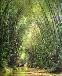 03-6 bambusa guadua Villegas editores
