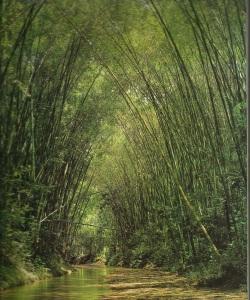 X Bambusa Guadua 3